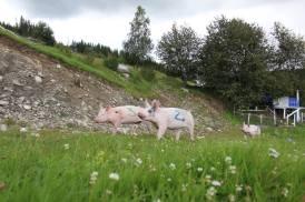 grisekappløp